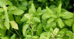 Tulsi+Plant